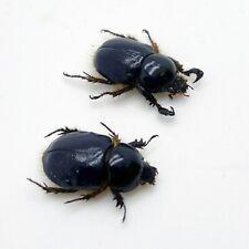 Scarabs Beetle (peltonotus morio) (PAIR) Insect Specimen Taxidermy