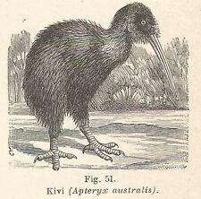 B1872 Apteryx australis - Incisione antica del 1928 - Engraving