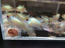New listing Electric Blue Acara - 2 pack