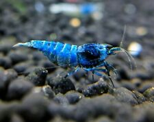 Extreme Blue Bolts_Usa Bred_Taiwan Bee Shrimp_Caridina Shrimp_Shrimpy Business