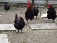 French Black Copper Maran Hatching Eggs