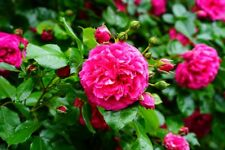 Rosa rugosa rose 50 seeds