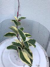 "Pianta in vasetto 5,5 cm diametro ""Hoya Carnosa""Variegata Tricolor Leggi BENE!"