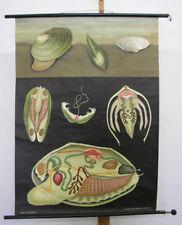School Wall Picture jkq Pond Clam Shells Gourmet 82x113 1961 Swan Fastnet