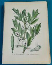 1893 Ancienne Lithographie Fève Vulgaire Gaston Bonnier Botanique
