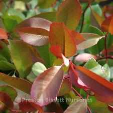 Photinia Red Robin Evergreen Shrub 3 litre Pot x 10
