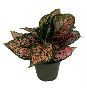 "Red Valentine Chinese Evergreen Plant - Aglaonema  Live Plants - 5"" Pot"