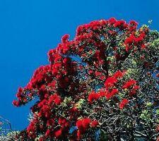 roter Weihnachtsbaum aus Neuseeland, hammerhart !