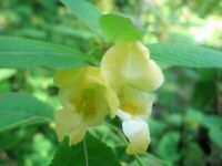 Impatiens scabrida or Himalayan Jewelweed 10 seeds FREE SHIP