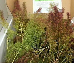 Teloxys Aristata, Seafoam Trees, Sea Moss, Seafoam, Aka Seafoam, Zeechium,Dried