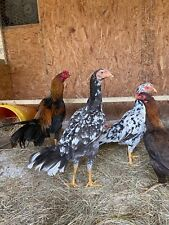 Mianwali Aseel roster chicken hatching 6 eggs mix color