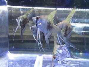 "Pack of 6 Smoke Angelfish (Non Blue Gene) 3"" Live Aquarium Tropical Fish"
