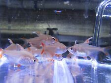 "Pack of 12 White Fin Ornatus Tetras (Hyphessobrycon bentosi) 1.25"" Live Fish"