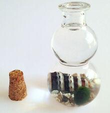 Baby Marimo Lucky Moss Ball in Glass Bottle Coarse Sand Rhinoclavis Seashell