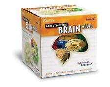 Model Brain Anatomical Human Anatomy Medical Cross Section