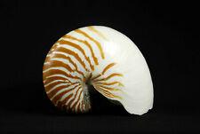 """Nautilus Shell 165 mm, 6.5"""""""
