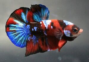 Fish Plakat Betta Pet Live Red Thai Fight Male Aquarium Plakad Fancy Blue HMPK A