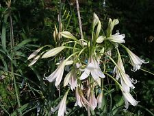 Crinum Lily, Bulbispermum  'Chessking', small-size bulb