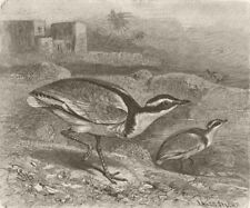 BIRDS. Black-backed courser 1895 old antique vintage print picture
