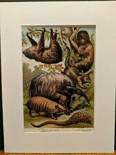1880 Henry J Johnson Ant Eater Sloth Armadillo Plate Lxi Edentata Print Matted
