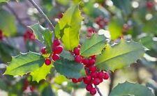 1 GALLON SIZE STARTER  American Holly Tree (1)Seedling Transplant ITEM#REG9