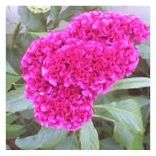 30+ Celosia Pink Cockscomb Flower Seeds/ Reseeding Annual