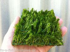 Riccia Fluitans Pad 10x10 cm Crystalwort Tropical Aquarium Plant UK shripm Safe