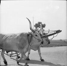 RAVENNE c. 1950 - Char à Boeufs Italie - Négatif 6 x 6 - ITAL 602