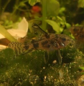 Group of 5 Rare Long Finned High Fin Blue Leopard Marbled Corydoras Cory Catfish