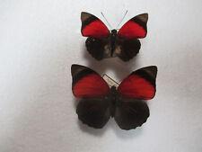 Entomologie Nymphalidae Agrias claudina (sahlkei) claudina Couple Brésil-Para