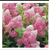50 Vanilla Strawberry hydrangea Flower Seeds for planting in pot or ground easy