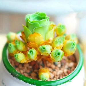 Lithops bonsai SS0067 Living Stones Flower Succulent Cactus Rare Succulent seeds