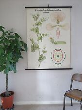 VINTAGE PULL ROLL DOWN  SCHOOL WALL CHART OF SWEET PEA FLOWER PLANT BOTANICAL