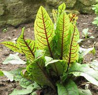 unbekannter Salat: i! die BLUT-AMPFER !i - sehr gesund - Samen Sämereien Saatgut