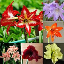 100Pc Mixed Hippeastrum Striatum Seeds Amaryllis Flower Plant Seed