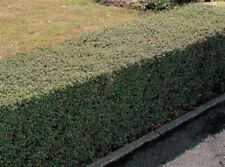 Chino gewürzstrauch sinocalycanthus chinensis planta 35-40cm rareza