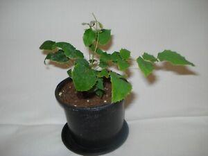Mahonia aquifolium Oregon Grape seedling plant UK HARDY fruiting