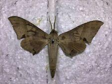 NASP 18 A+//A Rhadinopasa hornimanni Specimen Sale Sphingidae