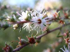Tickbush Seed Bird Attracting Shrub Arching Branches Hardy Kunzea ambigua