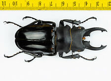 LUCANIDAE - Stag Beetle - Odontolabis bellicosa (79mm) - Indonesia - 1042