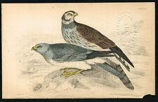 1840 Hen Harrier & Ringtail, Hand-Colored Antique Ornithology Print - Lizars