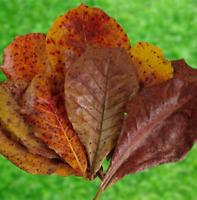 Catappa Leaves Indian Almond Leaves Water Modifier, Discus, Betta Sri Lanka