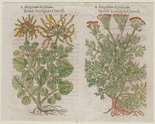 JOHN GERARD BOTANICA MATTHIOLI ORIGINALE 1597 CAROTA DELLE SCOGLIERE GINGIDIUM