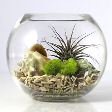 Air plant Kit in glass Terrarium with Sea Shells & Red Rubra Ionantha.