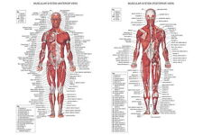 """01 Human Body Anatomical Chart Muscular System 21""""x14"""" Poster"""