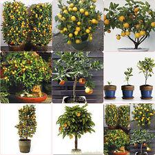 30pcs Organic Delicious Mandarin Edible Citrus Orange Bonsai Fruit Tree Seeds