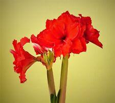 1 AMARYLLIS*Amarantia*BULB*24-26 Cm cir. Great Velvety Double RED