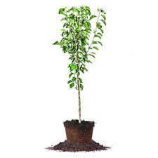Cleveland Pear Tree, Live Plant, Size: 4-5 ft.