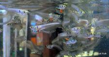 Silver Arowana Baby - Osteoglossum Bicirrhosum - Arowana Fry, Live Tropical Fish