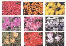 PIG FACE. Mesembryantheum. PIGFACE x 15 PLANTS. Add a SPLASH of Assorted Colour.